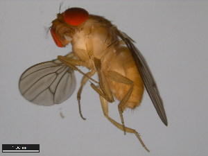 (Drosophila kepulauana - 15112-1761.03)  @13 [ ] CreativeCommons - Attribution Non-Commercial Share-Alike (2011) ANIC/BIO Photography Group ANIC/Biodiversity Institute of Ontario