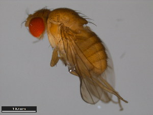 (Drosophila pulaua - 15112-1801.00)  @14 [ ] CreativeCommons - Attribution Non-Commercial Share-Alike (2011) ANIC/BIO Photography Group ANIC/Biodiversity Institute of Ontario