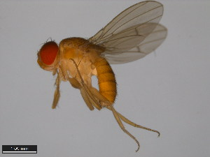 (Drosophila sulfurigaster - 15112-1811.05)  @15 [ ] CreativeCommons - Attribution Non-Commercial Share-Alike (2011) ANIC/BIO Photography Group ANIC/Biodiversity Institute of Ontario