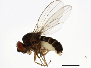 (Drosophila pseudoobscura - 14011-0121.78)  @15 [ ] CreativeCommons - Attribution Non-Commercial Share-Alike (2010) BIO Photography Group Biodiversity Institute of Ontario