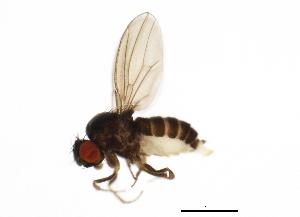 (Drosophila tsukubaensis - 14011-0161.01)  @11 [ ] CreativeCommons - Attribution Non-Commercial Share-Alike (2010) BIO Photography Group Biodiversity Institute of Ontario