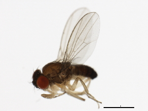 (Drosophila affinis - 14012-0141.00)  @15 [ ] CreativeCommons - Attribution Non-Commercial Share-Alike (2010) BIO Photography Group Biodiversity Institute of Ontario
