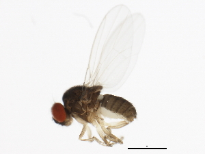 (Drosophila azteca - 14012-0171.07)  @13 [ ] CreativeCommons - Attribution Non-Commercial Share-Alike (2010) BIO Photography Group Biodiversity Institute of Ontario