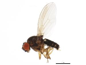 (Drosophila bifasciata - 14012-0181.02)  @13 [ ] CreativeCommons - Attribution Non-Commercial Share-Alike (2010) BIO Photography Group Biodiversity Institute of Ontario