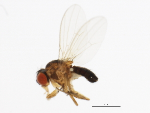 (Drosophila ambigua - 14013-1011.00)  @15 [ ] CreativeCommons - Attribution Non-Commercial Share-Alike (2010) BIO Photography Group Biodiversity Institute of Ontario