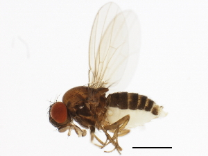 (Drosophila imaii - 14013-1021.00)  @11 [ ] CreativeCommons - Attribution Non-Commercial Share-Alike (2010) BIO Photography Group Biodiversity Institute of Ontario