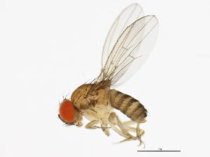 (Drosophila tani - 14020-0011.01)  @14 [ ] CreativeCommons - Attribution Non-Commercial Share-Alike (2010) BIO Photography Group Biodiversity Institute of Ontario