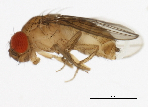 (Drosophila erecta - 14021-0224.01)  @15 [ ] CreativeCommons - Attribution Non-Commercial Share-Alike (2010) BIO Photography Group Biodiversity Institute of Ontario