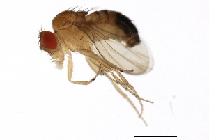 (Drosophila melanogaster - 14021-0231.78)  @15 [ ] CreativeCommons - Attribution Non-Commercial Share-Alike (2010) BIO Photography Group Biodiversity Institute of Ontario