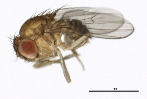 (Drosophila mauritiana - 14021-0241.01)  @13 [ ] CreativeCommons - Attribution Non-Commercial Share-Alike (2010) BIO Photography Group Biodiversity Institute of Ontario