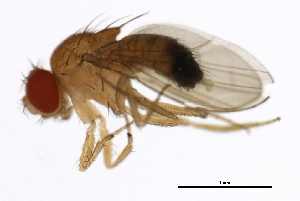 (Drosophila orena - 14021-0245.01)  @11 [ ] CreativeCommons - Attribution Non-Commercial Share-Alike (2010) BIO Photography Group Biodiversity Institute of Ontario