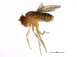 (Drosophila sechellia - 14021-0248.25)  @15 [ ] CreativeCommons - Attribution Non-Commercial Share-Alike (2010) BIO Photography Group Biodiversity Institute of Ontario