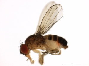 (Drosophila guanche - 14011-0095.01)  @16 [ ] CreativeCommons - Attribution Non-Commercial Share-Alike (2010) BIO Photography Group Biodiversity Institute of Ontario