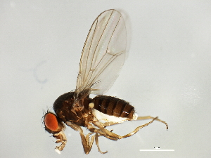 (Drosophila miranda - 14011-0101.14)  @14 [ ] CreativeCommons - Attribution Non-Commercial Share-Alike (2010) BIO Photography Group Biodiversity Institute of Ontario
