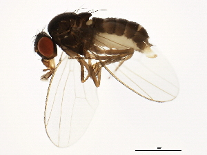 (Drosophila miranda - 14011-0101.19)  @14 [ ] CreativeCommons - Attribution Non-Commercial Share-Alike (2010) BIO Photography Group Biodiversity Institute of Ontario