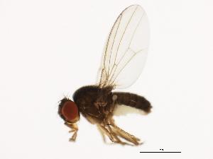 (Drosophila persimilis - 14011-0111.00)  @14 [ ] CreativeCommons - Attribution Non-Commercial Share-Alike (2010) BIO Photography Group Biodiversity Institute of Ontario