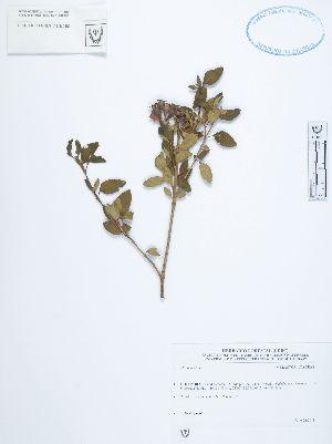 (Monochaetum - UDBC-BSDATA-048)  @11 [ ] CreativeCommons - Attribution Non-Commercial Share-Alike (2013) Herbario Forestal UDBC Herbario Forestal UDBC - Universidad Distrital Francisco José de Caldas