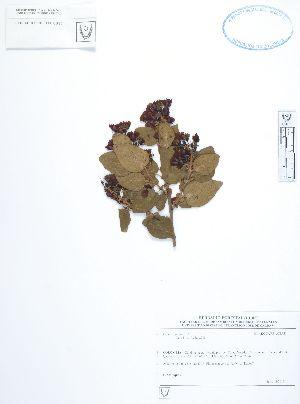 (Elaeocarpaceae - UDBC-BSDATA-061)  @11 [ ] CreativeCommons - Attribution Non-Commercial Share-Alike (2013) Herbario Forestal UDBC Herbario Forestal UDBC - Universidad Distrital Francisco José de Caldas
