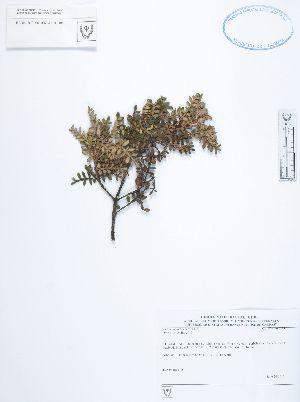 (Weinmannia - UDBC-BSDATA-065)  @11 [ ] CreativeCommons - Attribution Non-Commercial Share-Alike (2013) Herbario Forestal UDBC Herbario Forestal UDBC - Universidad Distrital Francisco José de Caldas