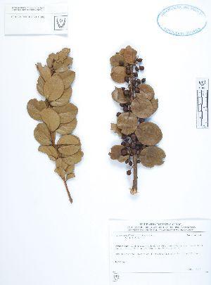 (Xylosma - UDBC-BSDATA-067)  @11 [ ] CreativeCommons - Attribution Non-Commercial Share-Alike (2013) Herbario Forestal UDBC Herbario Forestal UDBC - Universidad Distrital Francisco José de Caldas