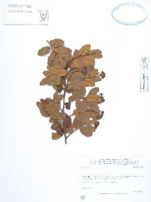 (Hesperomeles - UDBC-BSDATA-076)  @11 [ ] CreativeCommons - Attribution Non-Commercial Share-Alike (2013) Herbario Forestal UDBC Herbario Forestal UDBC - Universidad Distrital Francisco José de Caldas