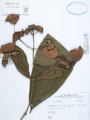 (Schizocalyx - UDBC-BSDATA-097)  @11 [ ] CreativeCommons - Attribution Non-Commercial Share-Alike (2013) Herbario Forestal UDBC Herbario Forestal UDBC - Universidad Distrital Francisco José de Caldas