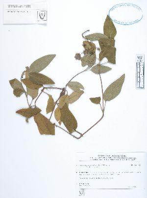 (Coccocypselum - UDBC-BSDATA-098)  @11 [ ] CreativeCommons - Attribution Non-Commercial Share-Alike (2013) Herbario Forestal UDBC Herbario Forestal UDBC - Universidad Distrital Francisco José de Caldas