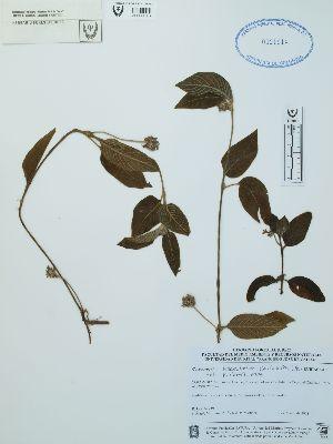 (Coccocypselum - UDBC-BSDATA-031)  @11 [ ] CreativeCommons - Attribution Non-Commercial Share-Alike (2013) Herbario Forestal UDBC Herbario Forestal UDBC - Universidad Distrital Francisco José de Caldas
