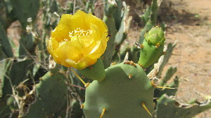 ( - H11_K1300_Opuntia_vulgaris)  @11 [ ] CreativeCommons - Attribution Non-Commercial Share-Alike (2014) Dr. Tyler Kartzinel Mpala Research Centre
