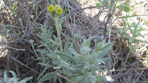 (Helichrysum - B2_K1301_Helichrysum_SKS14-032)  @11 [ ] CreativeCommons - Attribution Non-Commercial Share-Alike (2014) Dr. Tyler Kartzinel Mpala Research Centre