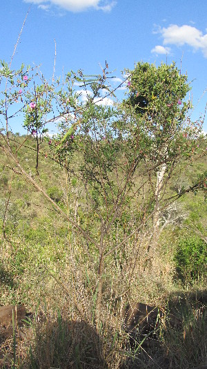 (Tephrosia - H8_K1301_Indigofera_SKS14-045)  @11 [ ] CreativeCommons - Attribution Non-Commercial Share-Alike (2014) Dr. Tyler Kartzinel Mpala Research Centre