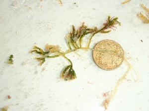 (Caulerpa cupressoides - GWS037792)  @11 [ ] Unspecified (default): All Rights Reserved  Unspecified Unspecified