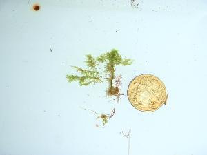 (Bryopsis plumosa - GWS041766)  @11 [ ] Unspecified (default): All Rights Reserved  Unspecified Unspecified