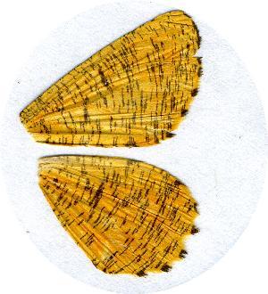 (Angerona prunaria turbata - AYK-04-5341)  @14 [ ] CreativeCommons - Attribution Non-Commercial No Derivatives (2009) Kim Mitter University of Maryland