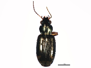 (Bembidion rapidum - 10BBCOL-0133)  @15 [ ] CreativeCommons - Attribution Non-Commercial Share-Alike (2010) BIO Photography Group Biodiversity Institute of Ontario