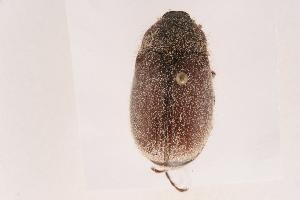 (Phyllophaga rubiginosa - 09BBCOL-0089)  @14 [ ] CreativeCommons - Attribution Non-Commercial Share-Alike (2009) BIO Photography Group Biodiversity Institute of Ontario