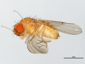 (Drosophila putrida - 09BBDIP-1351)  @14 [ ] CreativeCommons - Attribution Non-Commercial Share-Alike (2009) Unspecified Biodiversity Institute of Ontario