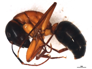 (Camponotus vicinus - 09BBUSA-F0484)  @13 [ ] CreativeCommons - Attribution Non-Commercial Share-Alike (2010) BIO Photography Group Biodiversity Institute of Ontario