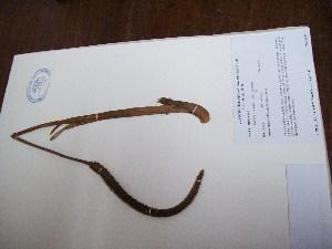 (Geonoma - MHNSM USM-233326)  @11 [ ] copyright (2014) Betty Millán Museo de Historia Natural San Marcos