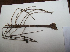 (Prestoea - MHNSM USM-233534)  @11 [ ] copyright (2014) Betty Millán Museo de Historia Natural San Marcos