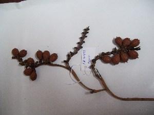 (Lepidocaryum - MHNSM USM-275787)  @11 [ ] copyright (2014) Francis Kahn Museo de Historia Natural San Marcos