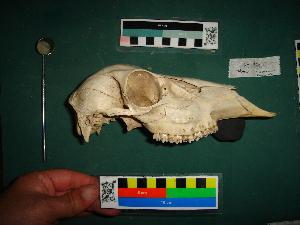 ( - VROb162MACN)  @11 [ ] Copyright (2012) MACN Museo Argentino de Ciencias Naturales