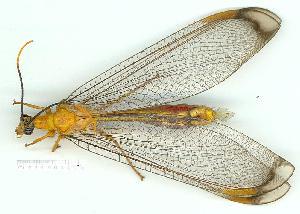 (Nymphidae - gvc10559-1L)  @14 [ ] Copyright (2004) Graeme V. Cocks Unspecified