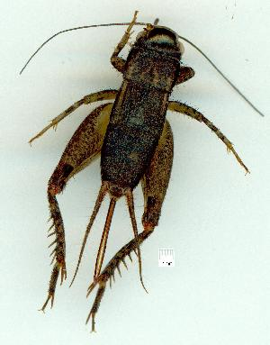 (Lepidogryllus - gvc14100-1L)  @14 [ ] Copyright (2004) Graeme V. Cocks Research Collection of Graeme Cocks