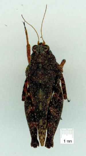(Scelimeninae - gvc14354-1L)  @14 [ ] Copyright (2004) Graeme V. Cocks Research Collection of Graeme Cocks