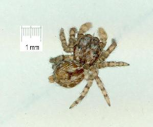 (Salticus sp. 11-GC - gvc15900-1L)  @11 [ ] CreativeCommons - Attribution Non-Commercial (2010) Graeme V. Cocks Research Collection of Graeme V. Cocks