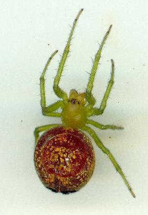 (Araneus psittacinus - gvc16157-1L)  @13 [ ] CreativeCommons - Attribution Non-Commercial (2010) Graeme V. Cocks Unspecified