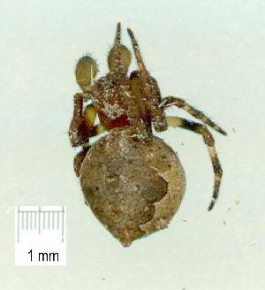 (Araneus poltyoides - gvc16163-1L)  @12 [ ] CreativeCommons - Attribution Non-Commercial (2010) Graeme V. Cocks Unspecified