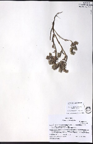 (Cryptantha minima - CCDB-23954-A06)  @11 [ ] CreativeCommons - Attribution Non-Commercial No Derivatives (2015) University of Alberta Herbarium University of Alberta Herbarium