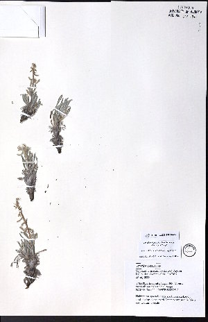 (Cryptantha macounii - CCDB-23954-A07)  @11 [ ] CreativeCommons - Attribution Non-Commercial No Derivatives (2015) University of Alberta Herbarium University of Alberta Herbarium